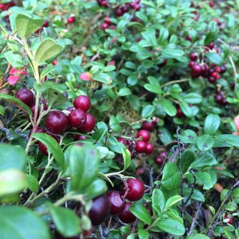berry-2879052_960_720